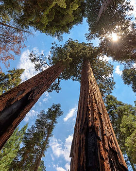 37c286b435_115315_arbre-plus-grand-sequo