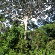 Samahuma arbre sacré