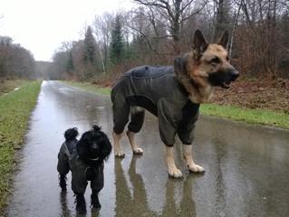 En hiver, faut-il mettre un manteau à son chien ?