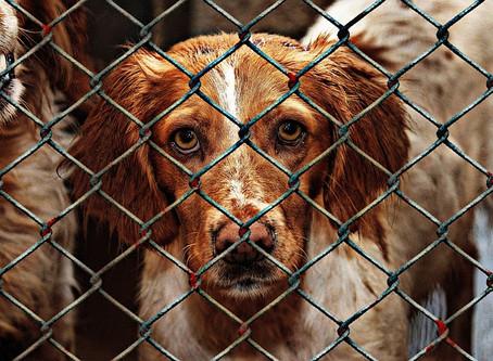 Protocole d'adoption du chien de refuge/SPA
