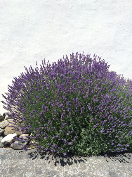 Why You Should Make Room for Lavender in Your Home