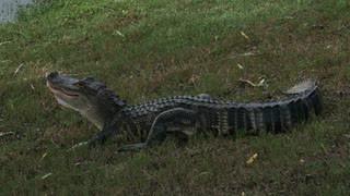Do resident alligators get an HOA vote?