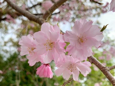 あなたが桜を美しいと感じるのはなぜ?