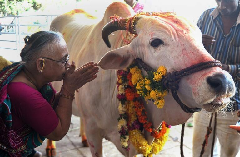 น้องวัวอินเดียมีกฏหมานเฉพาะในการคุ้มครอง