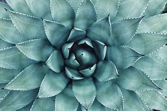 succulento