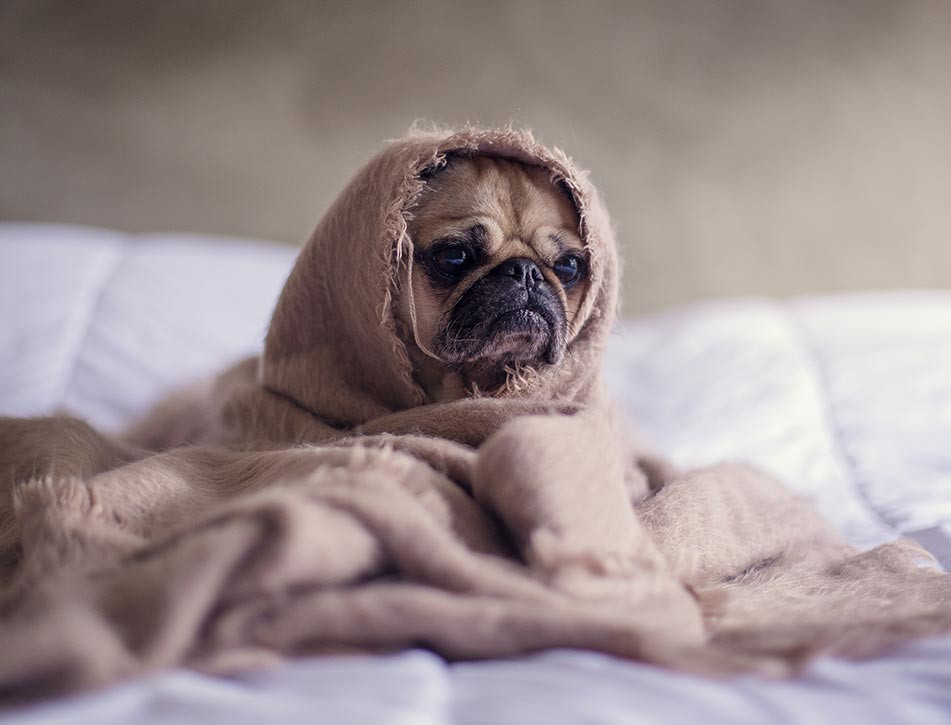 Bored pug dog wrapped in a blanket
