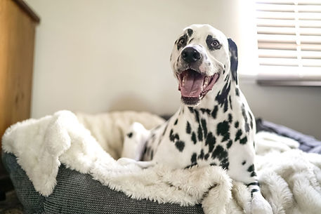 Happy Dalmatian dog smiling while resting in pet bed