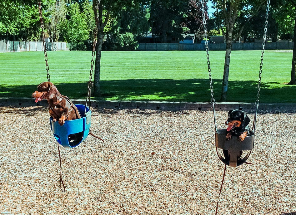 two dachsund dogs in swings at a park