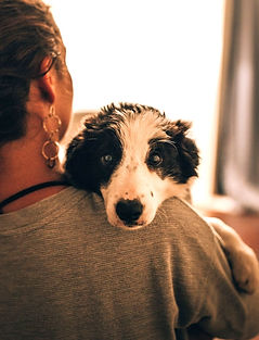 Cute black and white dog being held by owner looking at camera over her shoulder