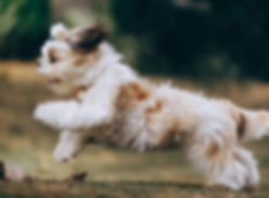 long-coated-white-and-brown-dog-3215610_