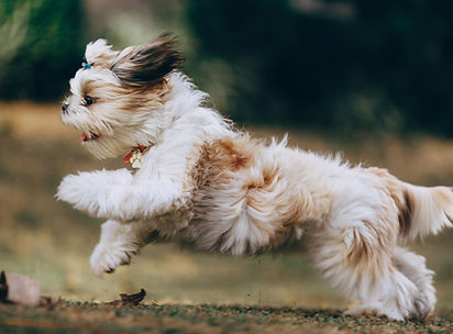 Cute brown and white Shih Tzu dog running happily outdoors