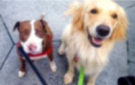 Red and white pit bull and golden retriever dogs on leashes looking up at camera