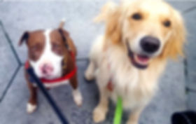 Red and white pit bull and Golden Retriever dogs looking up at camera
