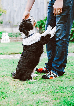 Man leaning down to pet his black and white sheep dog as dog places paws upon his legs