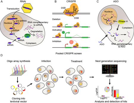 New review about lncRNA CRISPR screening published!