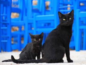 Kedilerde Tüy Yapısı ve Renk Genetiği