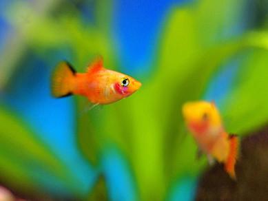 CANLI DOĞURAN BALIKLARIN YETİŞTİRİLMESİ ''Balıklarım neden yavrularını yiyor?''