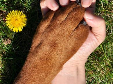Köpeklerde Demans (Canine Cognitive Dysfunction-Bilişsel Disfonksiyon Sendromu)