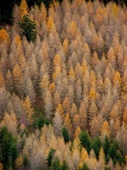 Mélèzes d'automne