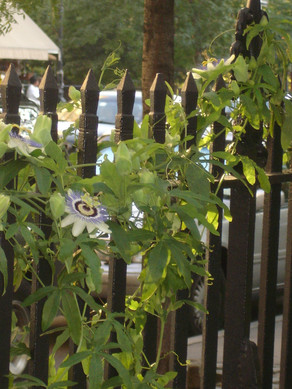 0007_2007 Sept AB Passiflora on fence.JP