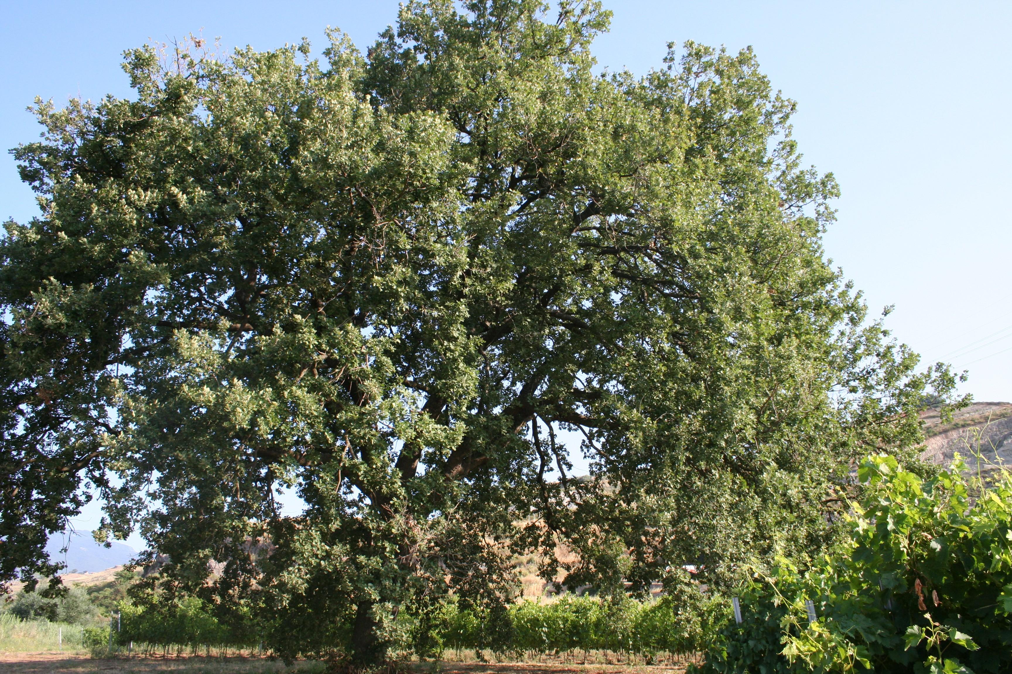 quercia nella vigna