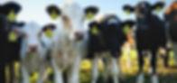 Calves small cropped.jpg