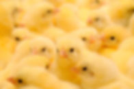 Chicks small.jpg