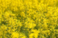 Close-up of a yellow rapeseed field.jpg