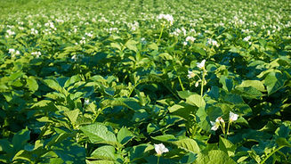 Blooming potato field with flowers. Gree