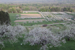 Orchard Bloom
