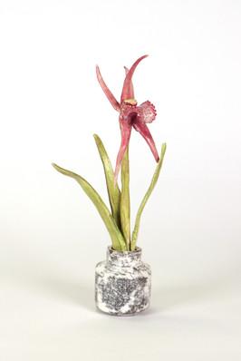 Caladenia boweri