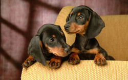 july-25-13-Miniature-Dachshund