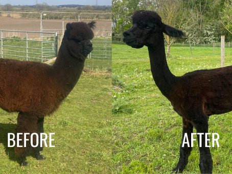 Taking off the winter coats. Shearing time with the Sheriff Alpacas.