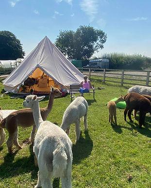 Tent alpacas.jpeg