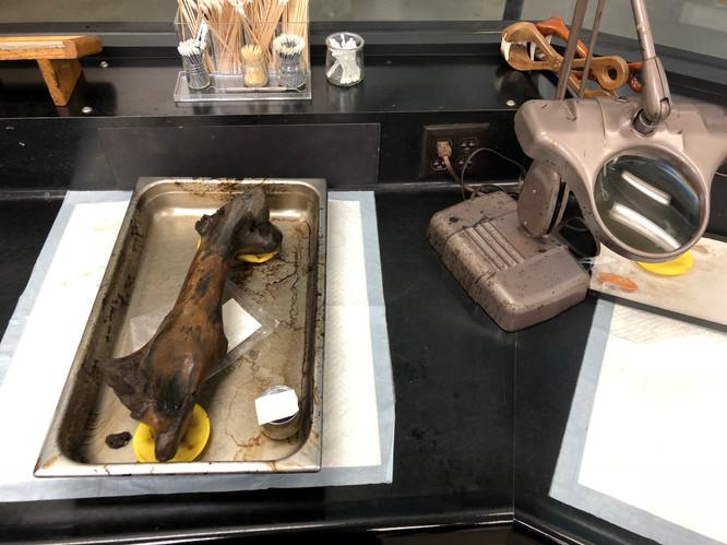 La Brea Tar Pits Museum. Fossil Collection.