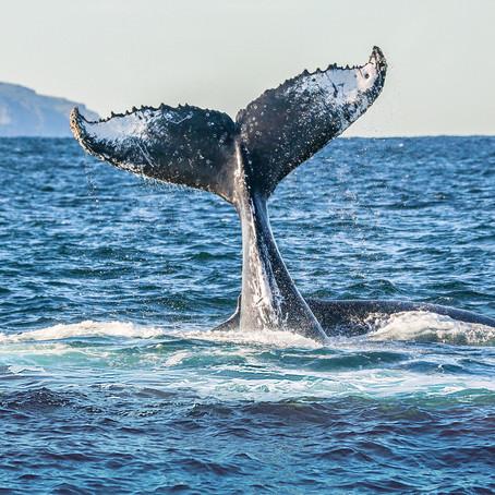 Whale Watching Season 2020