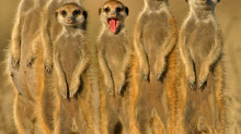 Meerkat Moments help make healthy teams
