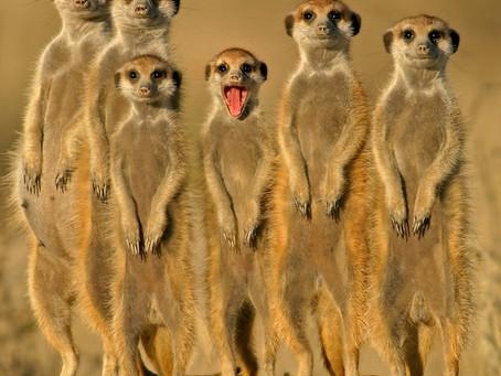 Meerkat Moments