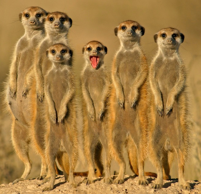 Meerkat Moments Sabre.jpg