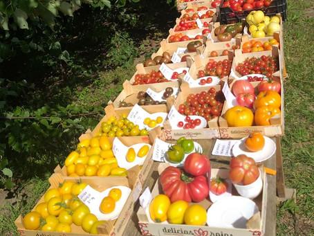 Pühapäevane tomatite degusteerimine Toretalus. Kirju laud ootab maitsjaid :) (18.08.2019)