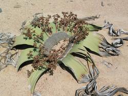 Welwitschia-Mirabilis.jpg