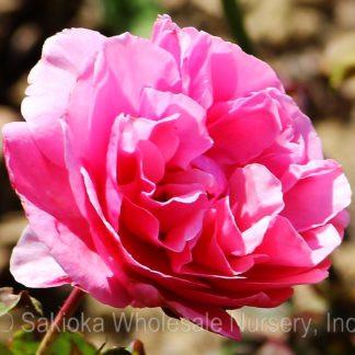 Dee-Lish Rose.jpg