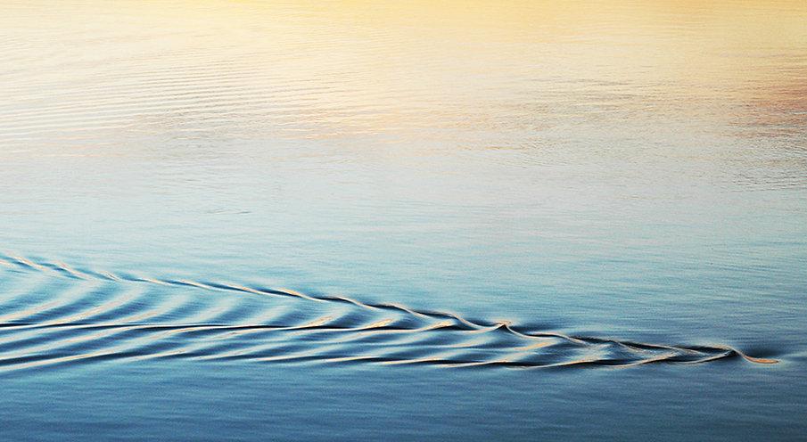 Sillage d'une loutre dans l'étang de Vacarès