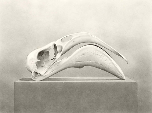 Flamingo Skull