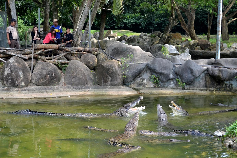 crocodile alive