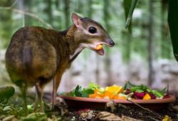 afamosa mouse deer