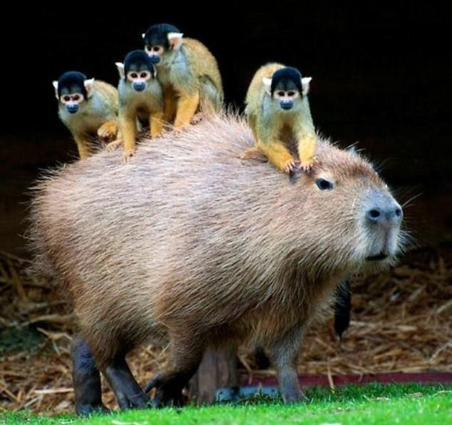 afamosa capybara