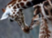 giraffes baby mum.jpg