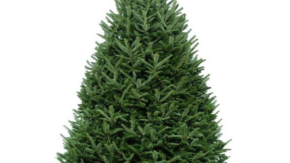 Fraser Fir Premium Grade Tree