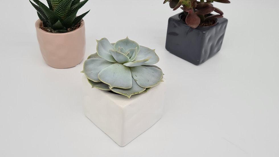 Small Succulent Mix